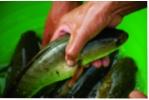 Giá cá lóc nuôi ở mức thấp