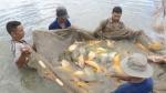 Một số lưu ý khi nuôi cá chép giòn