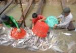 Vấn đề giá thành cá tra nguyên liệu