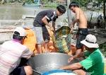 TP Cần Thơ: Cá lóc nuôi tăng giá