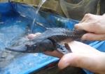 Cao Bằng: Nhiều thuận lợi để phát triển cá tầm