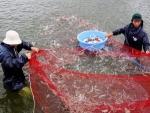 Tiền Giang: Nuôi tôm nước lợ được mùa, trúng giá