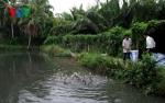 Trà Vinh: Dân đổ xô nuôi cá lóc, chính quyền loay hoay