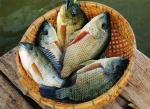 Hưng Yên: Giá thủy sản ổn định, người dân yên tâm