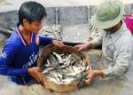 Hậu Giang: Giá cá đồng giảm mạnh