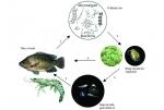 Copefloc - nuôi tôm bằng thức ăn tự nhiên