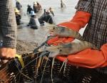 2015 - năm khó khăn với ngành tôm châu Á