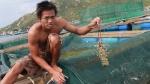 TX Sông Cầu (Phú Yên): Tôm hùm chết do dịch bệnh chiếm 25% tổng đàn