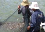 Phú Yên: Kiểm soát giống, môi trường để phòng trị bệnh tôm