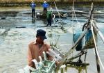 Bình Định: Hơn 16 ha diện tích tôm nuôi bị dịch bệnh