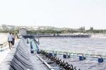Khánh Hòa: Tôm thẻ chết hàng loạt
