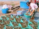 Kiên Giang: Sản lượng tôm tăng mạnh