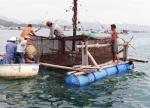 Quảng Ngãi: Quy hoạch nuôi tôm hùm tại Lý Sơn