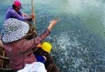 Vĩnh Long: Cá tra giống chỉ đáp ứng 20%