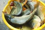 Nghệ An: Cá nước ngọt hút khách đầu năm