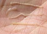 Chữa bệnh phân trắng cho tôm khi được 60 ngày?