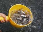 Hoạt tính của cỏ roi ngựa đối với cá nuôi