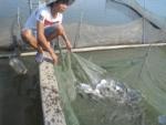 Quảng Bình: Hiệu quả mô hình nuôi cá chim vây vàng thương phẩm