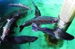 Sa Pa xây dựng nhãn hiệu tập thể và phát triển thị trường cá nước lạnh