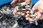 Hỏi về kỹ thuật nuôi cá rô phi đơn tính?