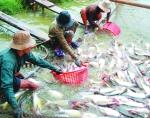 Giá cá tra tăng mạnh, đạt mức cao nhất trong năm 2017