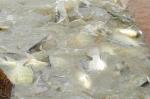 Hải Dương: Nuôi thâm canh thủy sản thu nhập gấp  3 - 4 lần trồng lúa