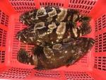 Kiên Giang: Triển vọng mô hình nuôi cá mú Trân Châu tại huyện đảo Phú Quốc