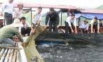Lai Châu: Sớm phát huy lợi thế nuôi cá lồng trên hồ thủy điện