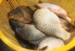 Hiệu quả nuôi cá chép giòn tại Khánh Hòa