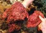 Trùn quế Củ Chi: Sản phẩm ưu việt trong nuôi trồng thủy sản