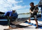 Cá ngừ đại dương tiếp tục giảm giá