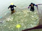 Sóc Trăng: Trần Đề thả nuôi 791 ha tôm thẻ chân trắng