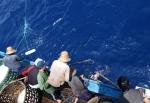 Bình Định: Được mùa cá ngừ đại dương
