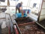 Tiền Giang: Người nuôi cá bè lo lắng vì nước mặn xâm nhập