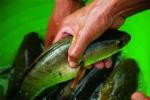 Thanh Hóa: Thu hàng trăm triệu đồng từ nuôi cá lóc