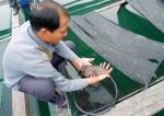 Hà Tĩnh hướng tới xuất khẩu cá mú