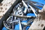Bình Thuận: Sớm ngăn chặn tình trạng cá chết hàng loạt