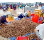 Hà Tĩnh: Ngư dân trúng đậm các loại sò biển