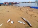 Kiên Giang: Xuất hiện hải sản chết bất thường