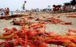 Bờ biển California (Mỹ) ngập tràn xác hàng nghìn con cua cá ngừ đỏ