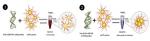 Phương pháp mới kiểm tra trực quan vi khuẩn gây bệnh AHPND