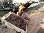 Nghệ An: Diễn Châu được mùa tôm biển