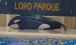 Cá voi sát thủ cố gắng tự sát vì không chịu nổi cảnh giam cầm?