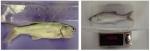 Ảnh hưởng của một số loại thức ăn đến sinh trưởng cá nhụ bốn râu (Eleutheronema tetradactylum) giai đoạn nuôi từ 3 - 12 tháng tuổi