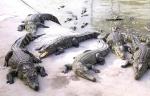 Bà Rịa - Vũng Tàu: Người nuôi cá sấu phấn khởi vì giá tăng cao