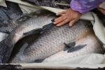 Bắc Ninh: Nuôi cá trắm đen cho lãi cao