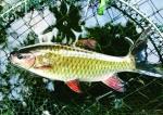 Phú Thọ: Hiệu quả từ sản xuất và nuôi thương phẩm cá bỗng