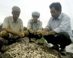 Cà Mau: Người nuôi sò huyết đang gặp khó