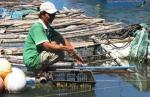 Phú Yên: Triển vọng nuôi hàu Thái Bình Dương