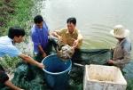 Bạc Liêu: Nuôi cá chình thương phẩm lợi nhuận cao